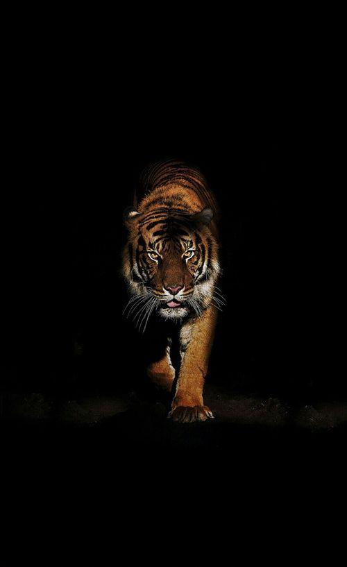 Imagen De Animal Wild Animal Wallpaper Tiger Wallpaper Tiger Wallpaper Iphone