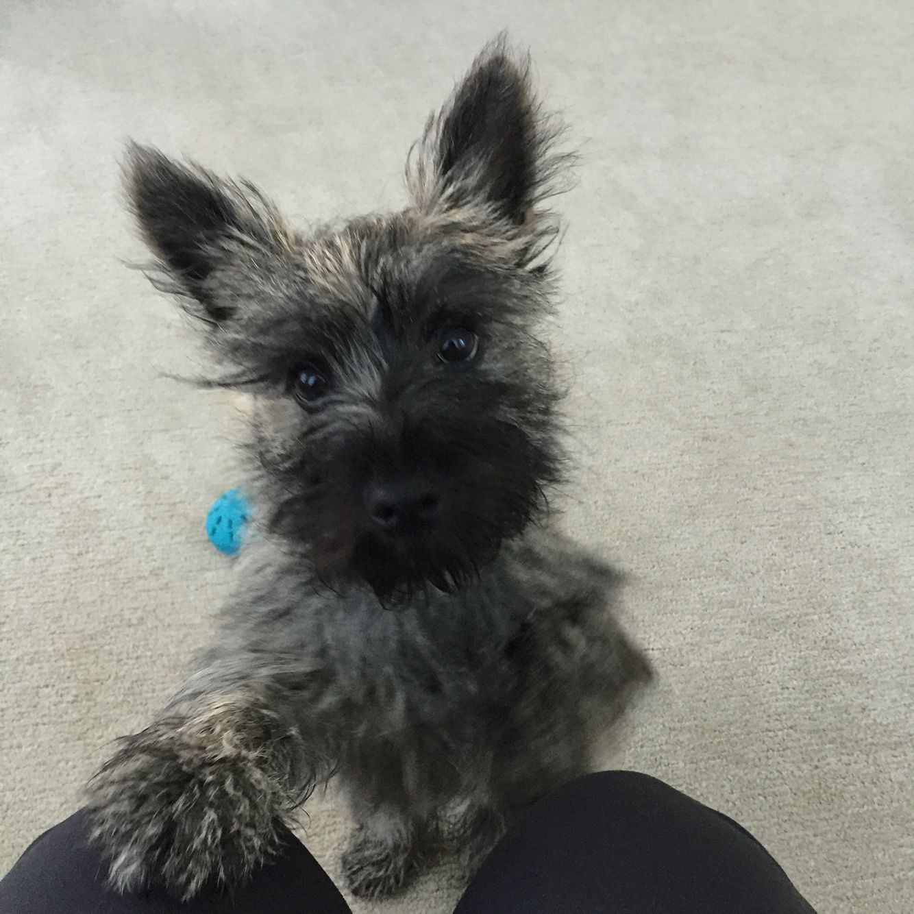 Cairn Terrier Puppy Asking For Attention Cairn Terrier Puppies