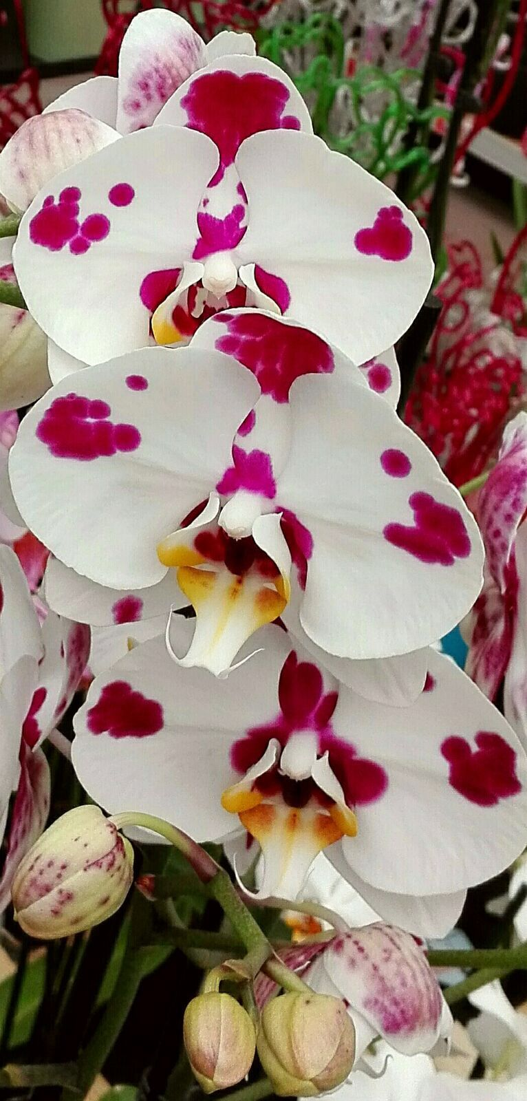 White Tropical Orchids Flower Pictures Pinterest Orchids