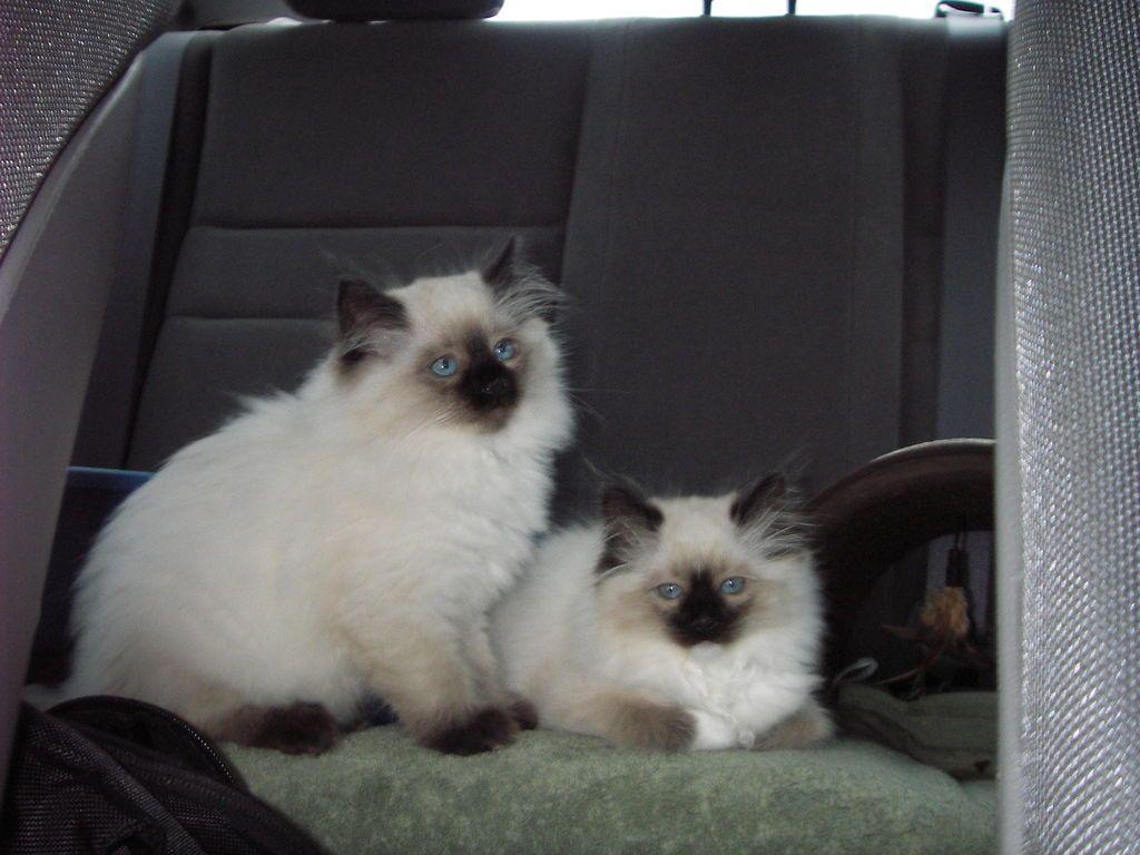 Lake Norman Ragdolls Cat Love Ragdoll Kitten Cute Cats