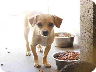 Mesa Az Dachshund Chihuahua Mix Meet A3745093 A Dog For