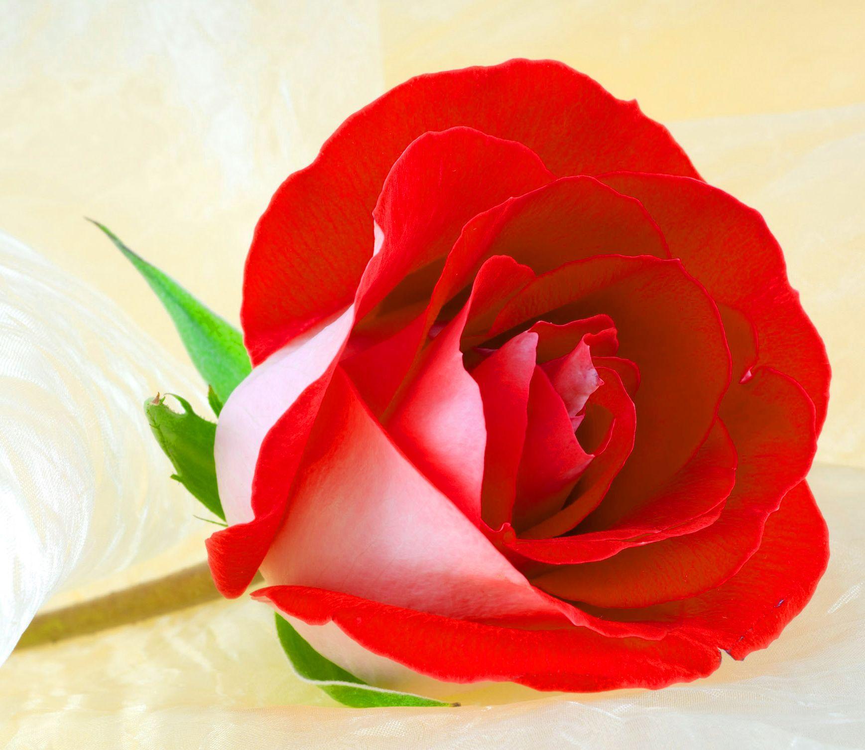 Flower Nice Whatsapp Dp Pics Hd Download Rose Flower Wallpaper Flowers Dp Beautiful Flowers Images Hd