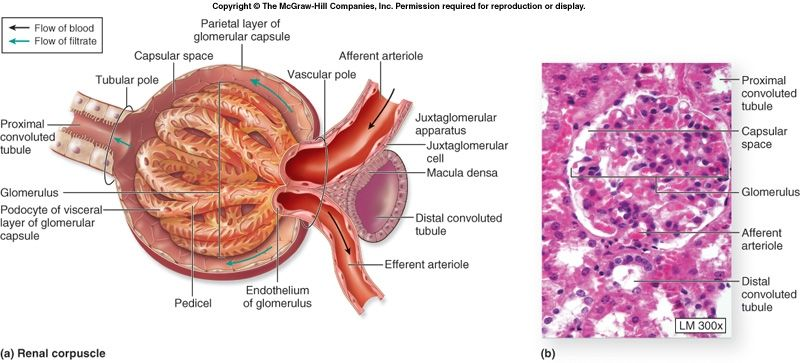 normal+glomerulus | there are about 1-1.5 million nephrons in the, Human Body