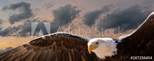composite image of a bald eagle flying at sunset , #Ad, #bald, #image, #composite, #sunset, #flying #Ad