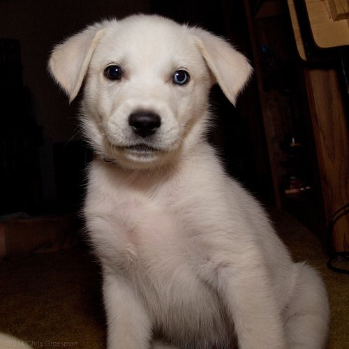 Blue 8 Week Old White Goberian Puppy camera Olympus E