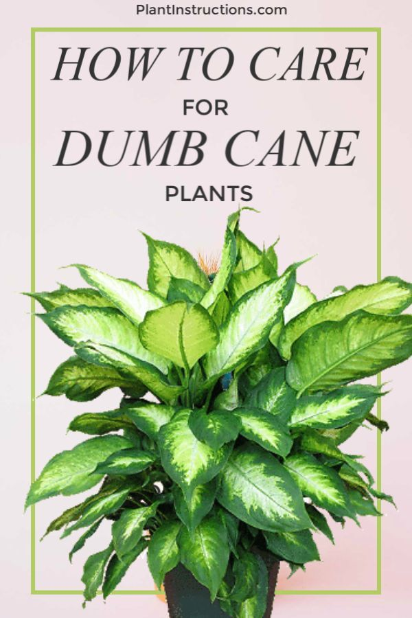 How to Care for Dumb Cane Plants  Plants  Flowers