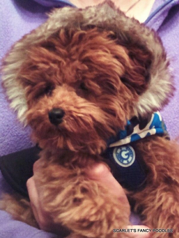 Red Poodle Puppy By Terri Borkgren On Poodle 5 Puppies For Sale