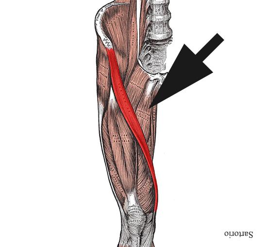 Momento de repaso: ¿recuerdas cuál es el músculo más largo de ...