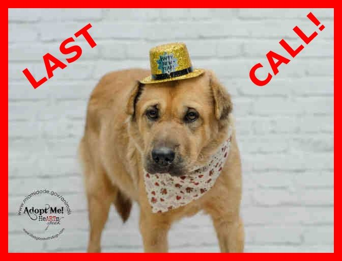 LAST CALL! LAST CALL! LAST CALL! Urgent Dogs of Miami · LOLA (A1666960) I am a female brown Chow Chow and Chinese Sharpei. The shelter staff think I am about 1 year old and I weigh 37 pounds. I was found as a stray and I am available for adoption. https://www.facebook.com/urgentdogsofmiami/photos/pb.191859757515102.-2207520000.1420038885./899545393413198/?type=3&theater