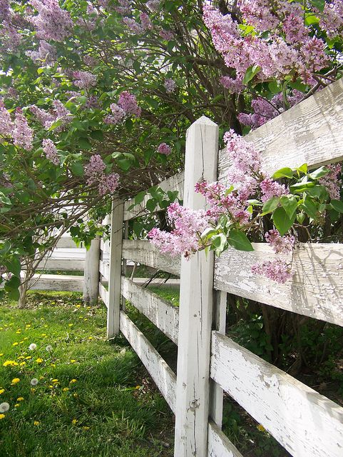 white fence..... I do believe that is a verrry large lilac shrub beside the gorgeous aged fence and some of the blooms are peaking thru the fence rails!!!!!