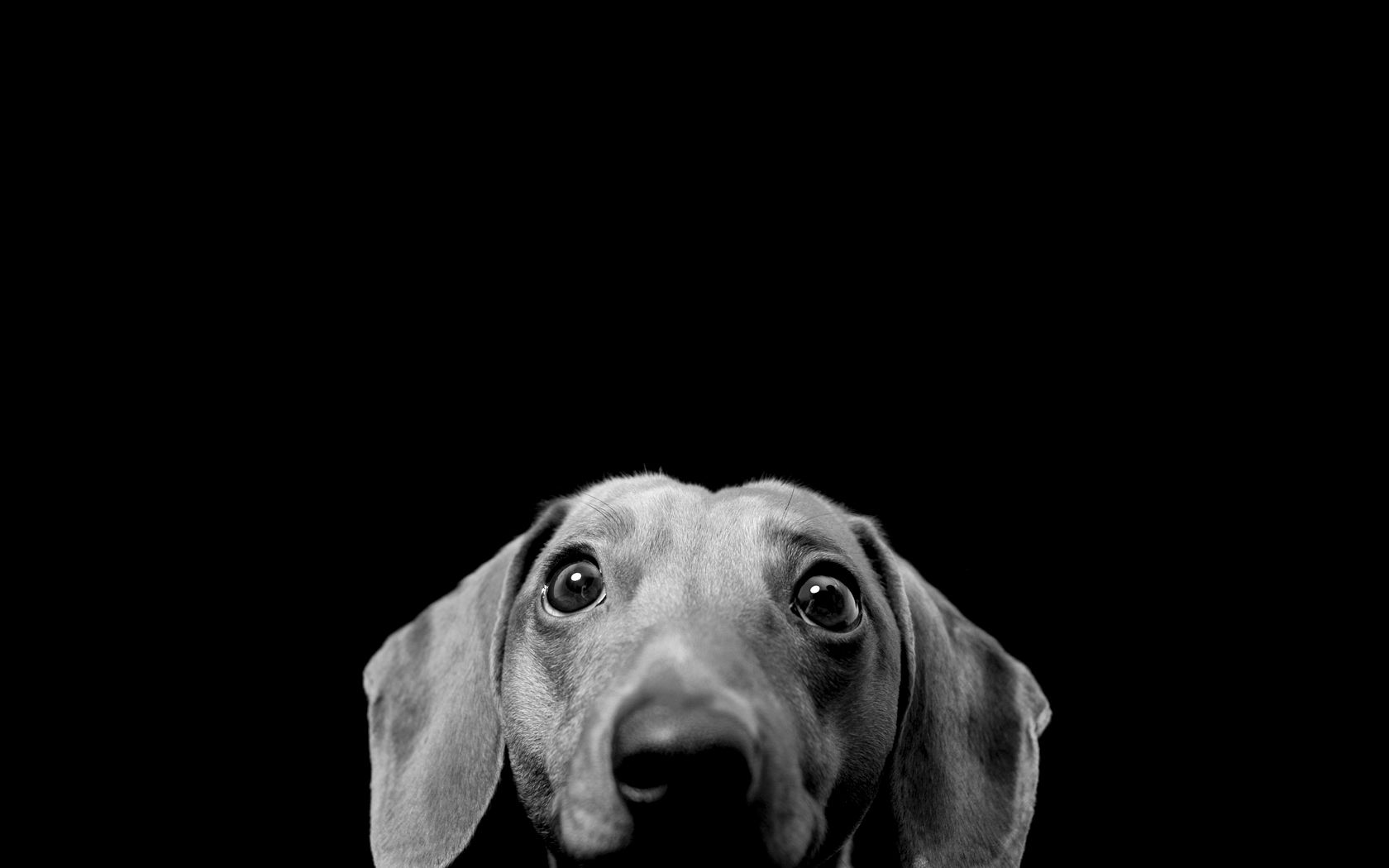 Black White Doxie Funny Dog Pictures Dog Wallpaper Black And