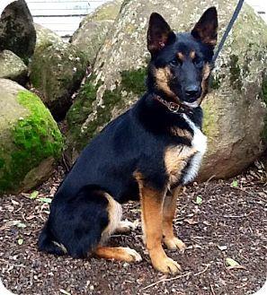Vacaville Ca German Shepherd Dog Cattle Dog Mix Meet Mandy A