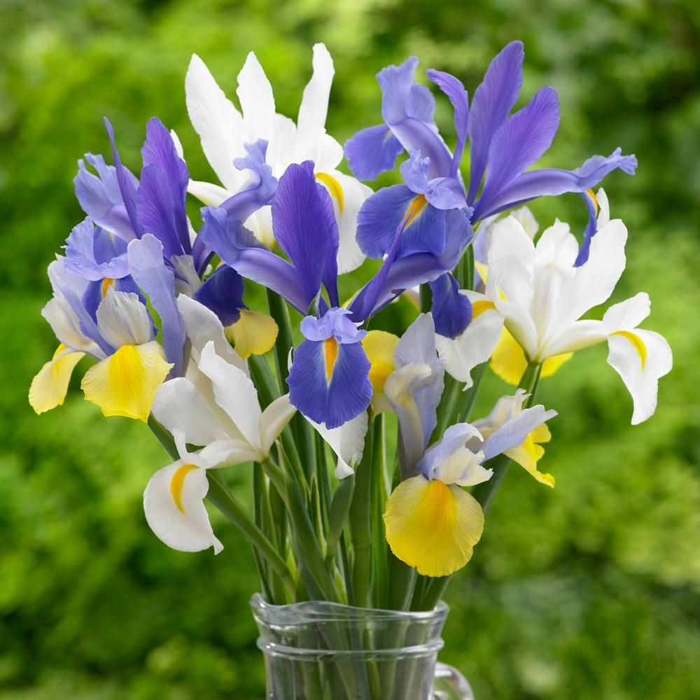 Dutch iris assorted colors a pretty assortment of royal blue white
