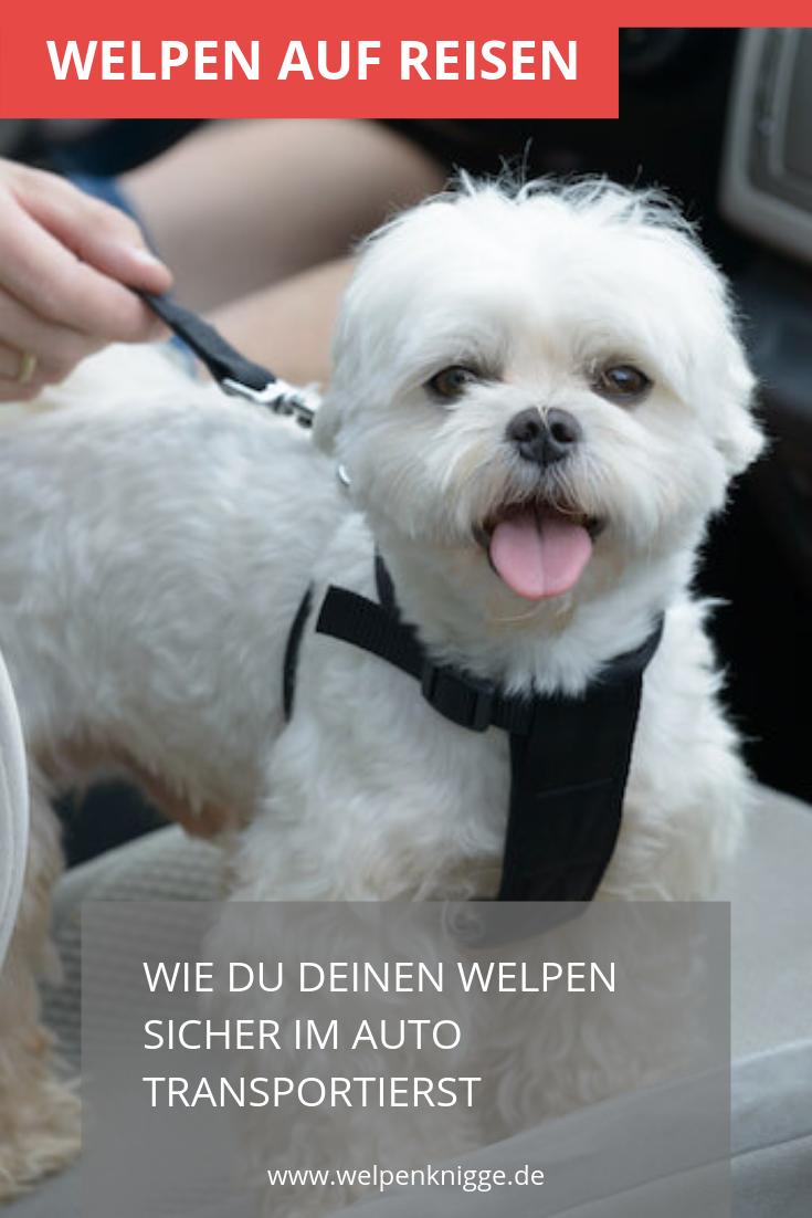 Dein Welpe Sollte Langsam An Das Autofahren Gewohnt Werden Er Stellt Fur Dich Als Fahrer Am Anfang Ein Erhohtes Siche Welpen Hundchen Training Urlaub Mit Hund