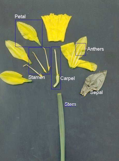Daffodil dissected   Parts of a flower, Daffodil day ...