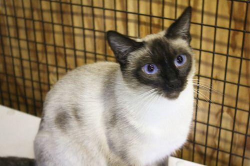 Anna Siamese Los Angeles Ca Siamese Pets Animal Rescue