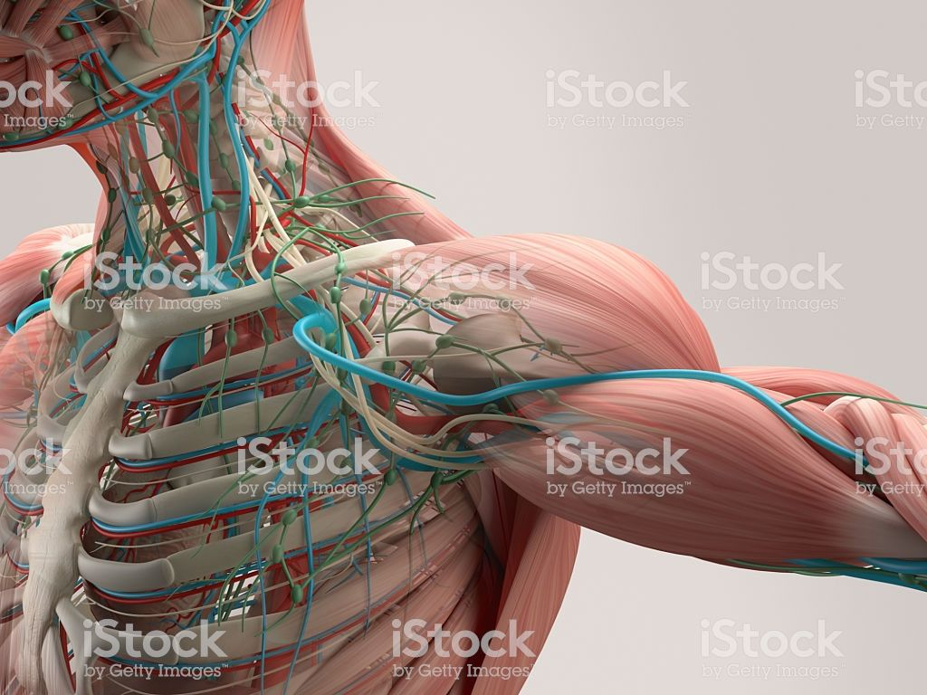 Human Anatomy Detail Of Shoulder Muscle Bone Structure