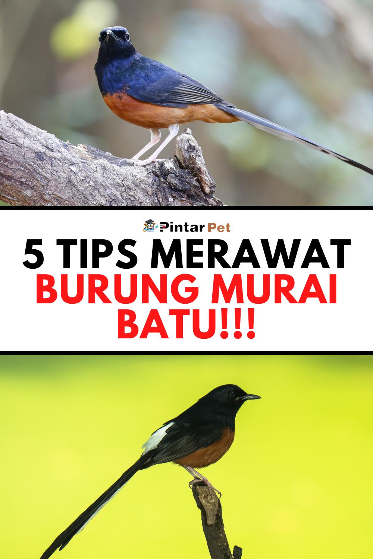 5 Cara Merawat Burung Murai Batu Agar Menang Lomba Burung Murai Pengetahuan