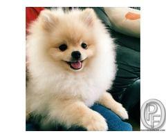 Looking For Small Pomeranian Dog Puppy In Mumbai Maharashtra India