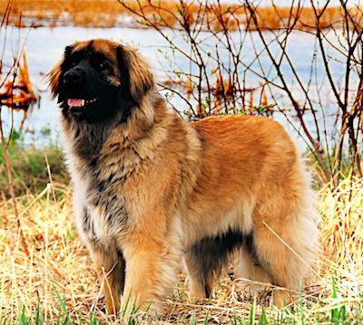 Dog Breed Lindenberger Dog