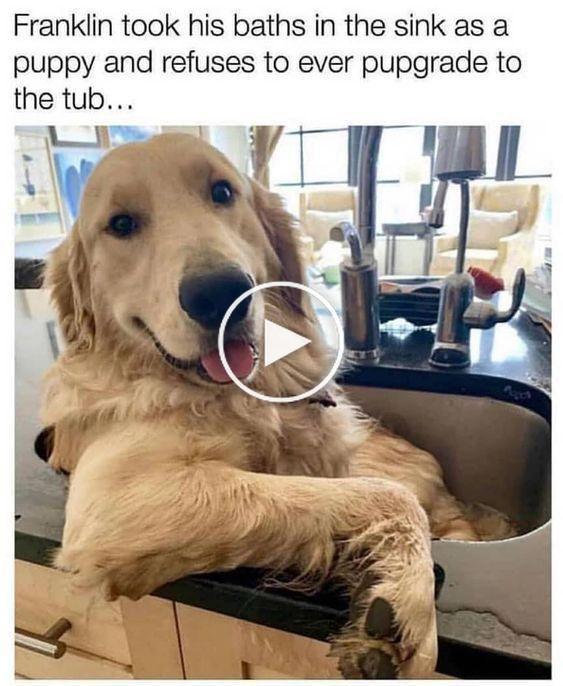 Dog Toys : Target #cuteanimalhumor Golden Retriever Memes|Dog Memes|Pet Memes|Funny Pet Memes|Funny Dog Memes|Funny Animal Memes|Dog Humor|Pet Humor|Animal Humor|Cute Golden Retriever Memes|#memes #dogmemes #funnymemes #goldenretrievermemes #goldenretriever #goldenretrievers #afflink #funnymemes #funnyvideos