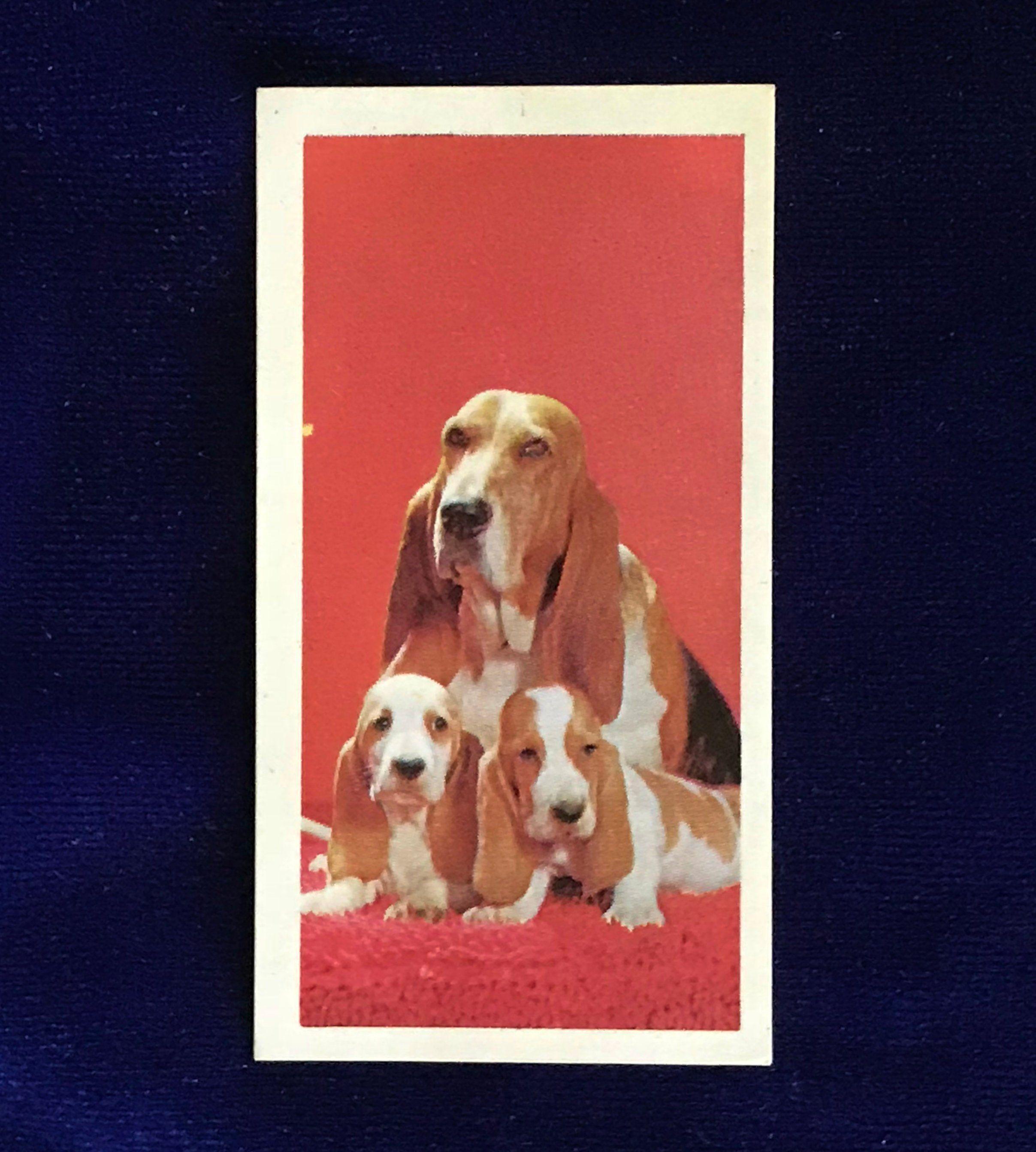 1967 Basset Hound Puppies George Bassett And Co Confectioners Card Father S Day Basset Hound Puppy Hound Puppies Basset