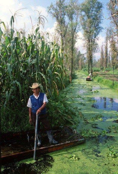 El Cultivo De Maíz Xochimilco Chinampas Permacultura