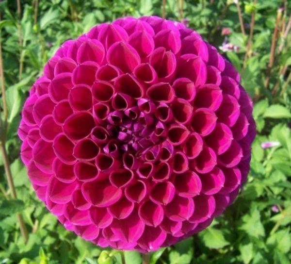 Pflanzen Ratgeber Krank De Dahlien Blumen Dahlien Pflanzen