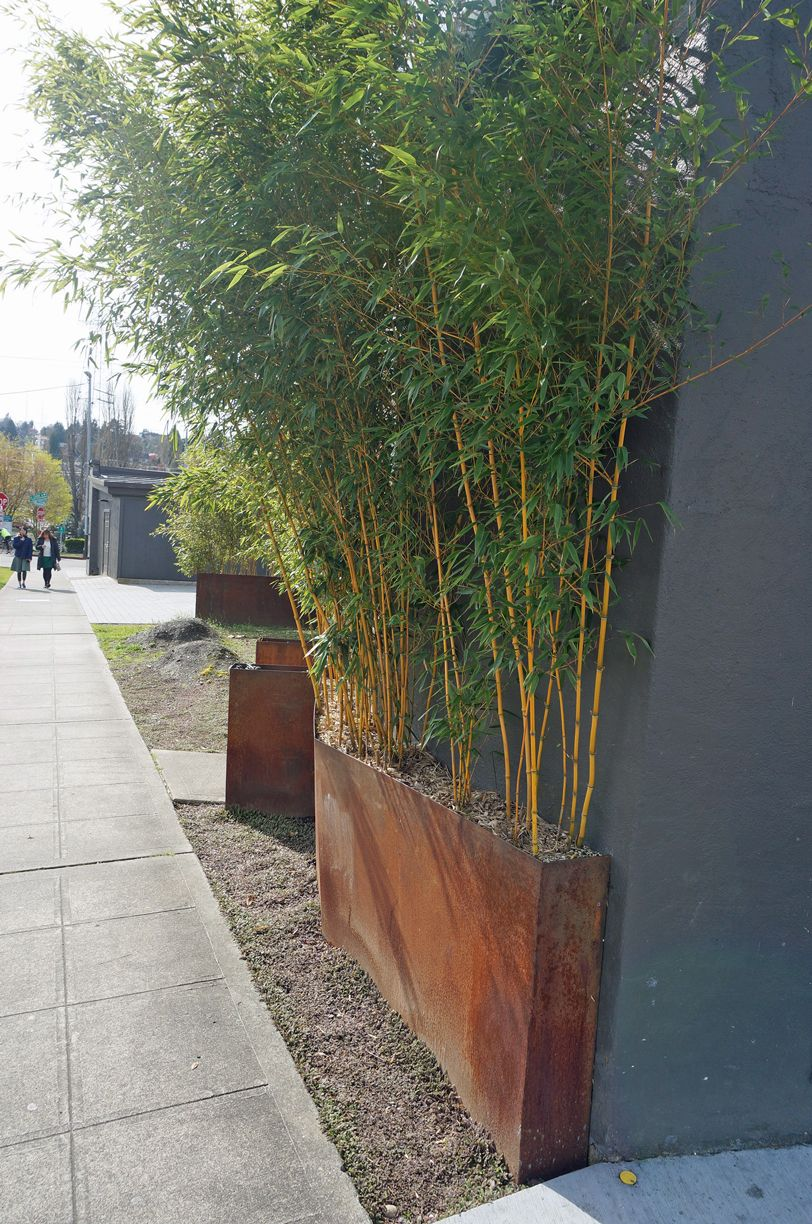 Uncategorized Bamboo Plants In Pots can bamboo be grown in pots google search balcony pinterest search