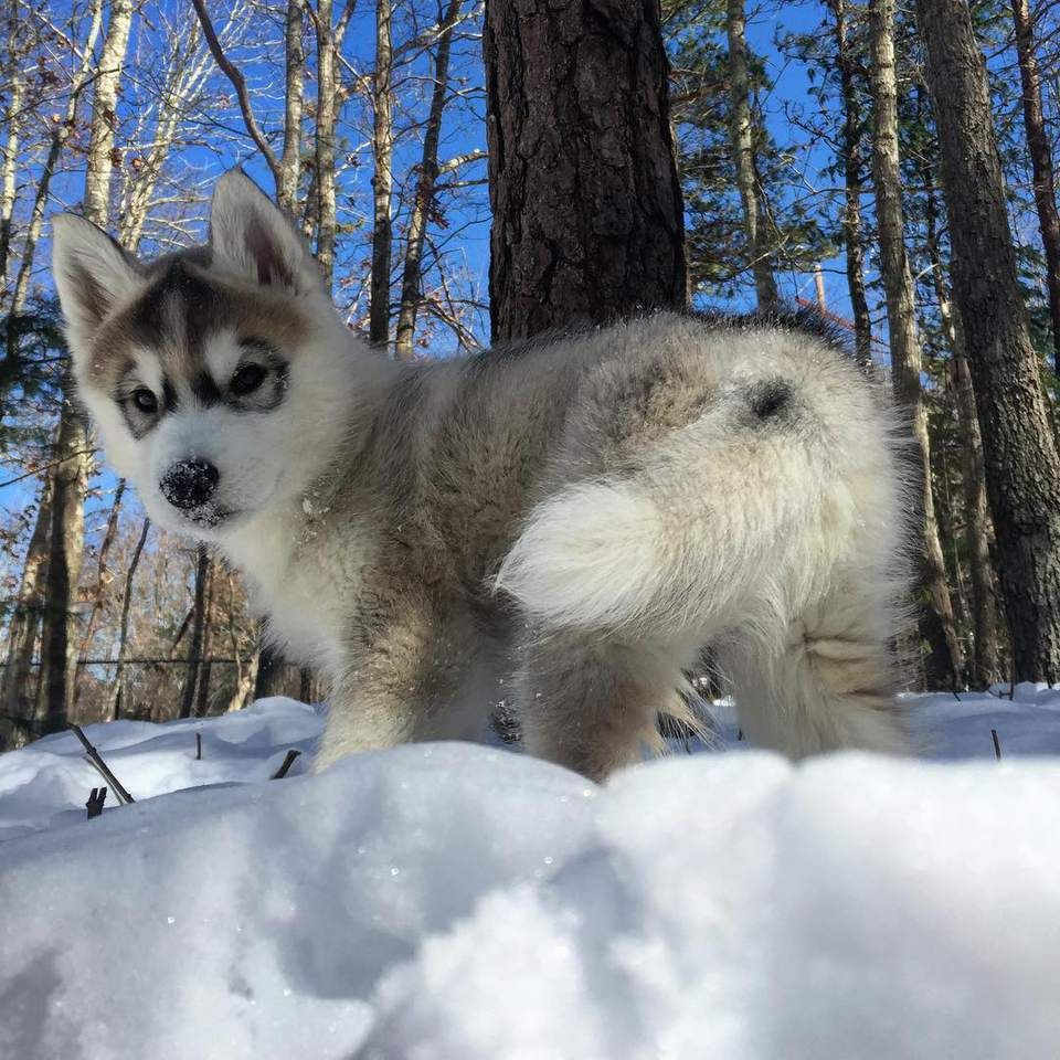 Adorable Pictures And Fun Facts About Beloved Siberian Huskies