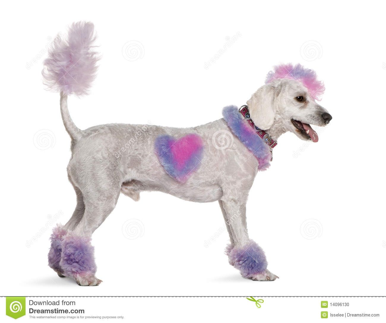 Groomed poodle with pink and purple fur and mohawk, 1 year