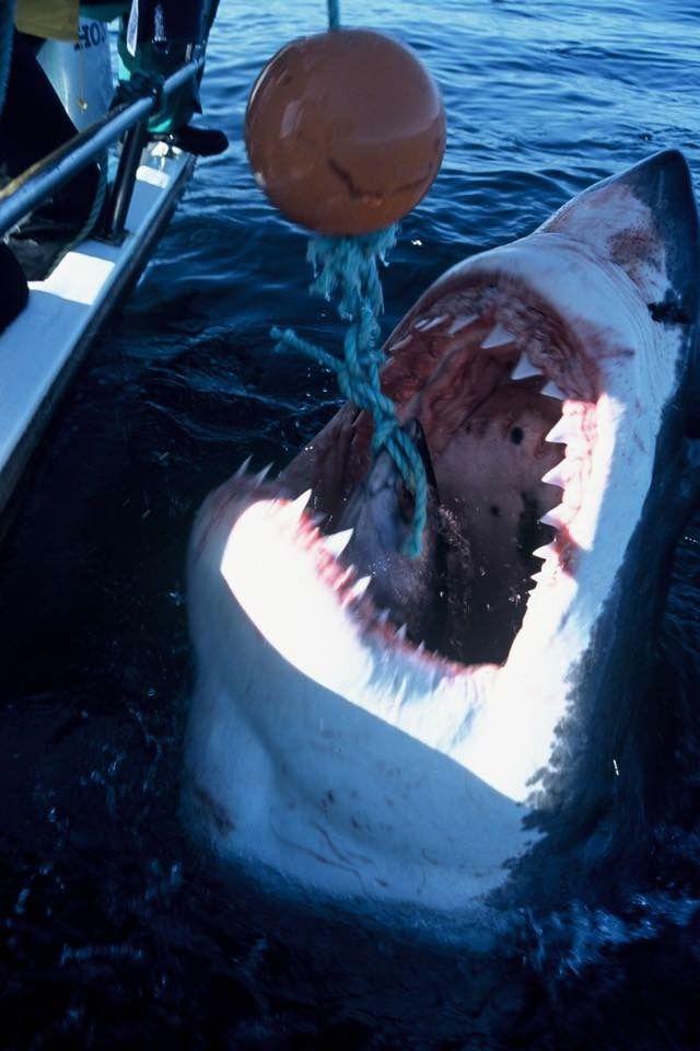 картинки акулы людоед это