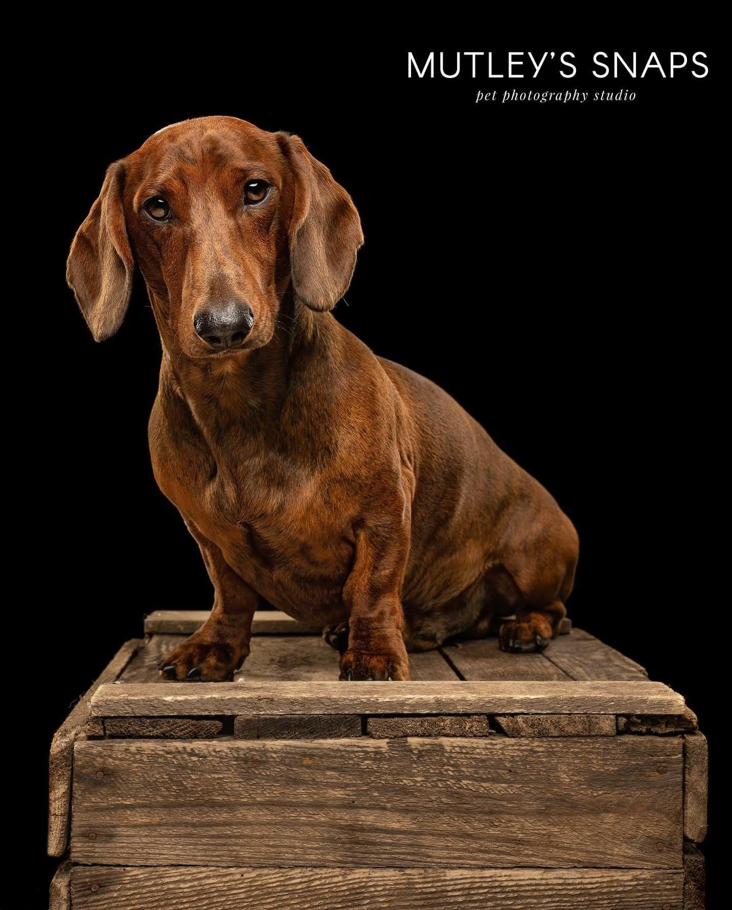 Dachshund Dachshund Dog Cat Pet Photography Studio