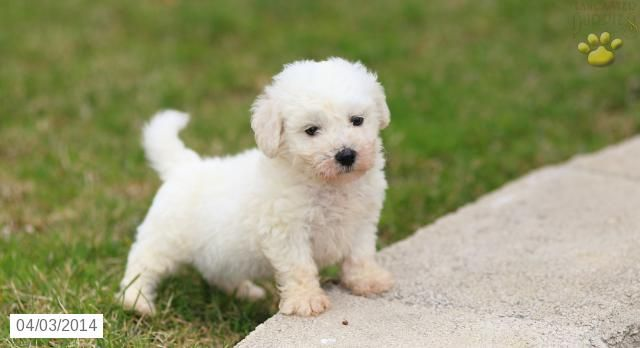Teddy Bichon Frise Puppy For Sale In Gordonville Pa Bichon Frise Puppy For Sale Bichon Frise Puppy Bichon Frise Puppies
