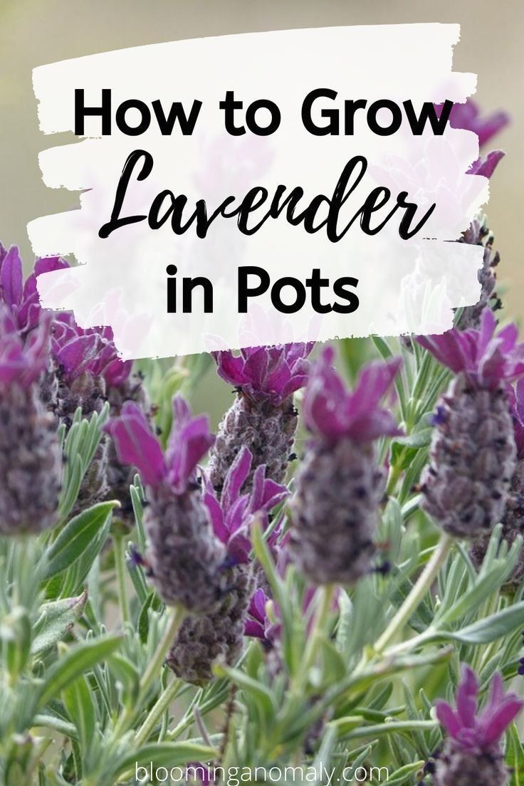 How to grow lavender in pots 1000 growing lavender