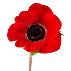 History Of The Red Flanders Poppy And Craft For Kids Home