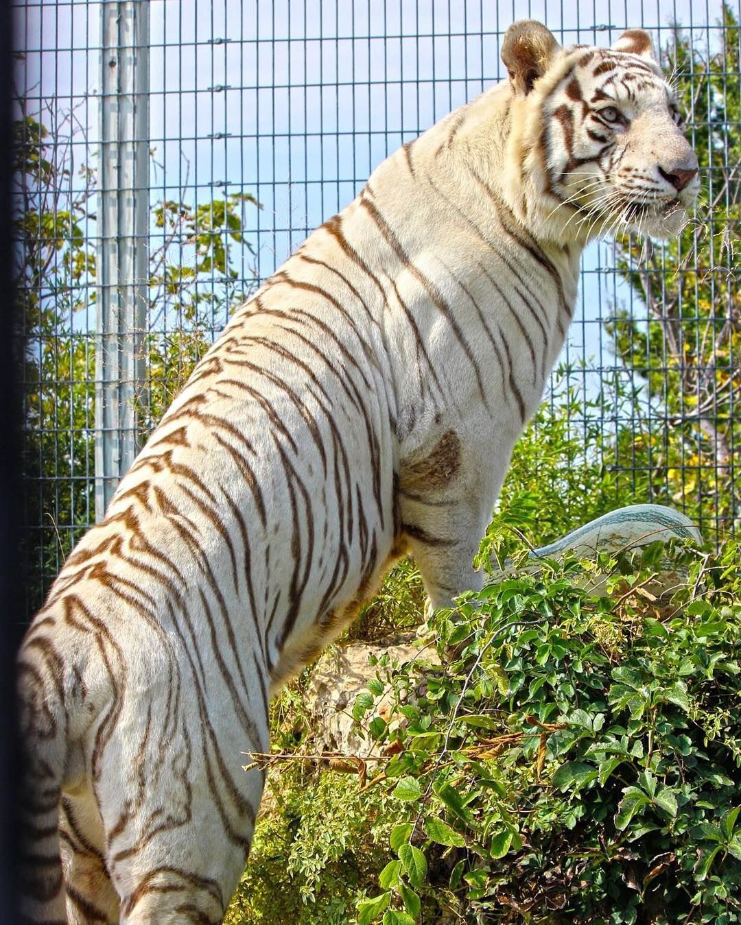 Gilbert! The tallest tiger in Tanganyika!!   Our Animals!   Wildlife