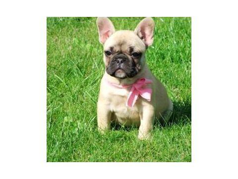 French Bulldog For Sale 700 Female In Wakefield Ma Cuteness