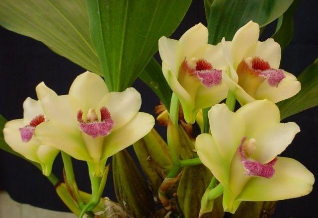 Bifrenaria Harrisoniae Bifrenaria Pinterest Orchid
