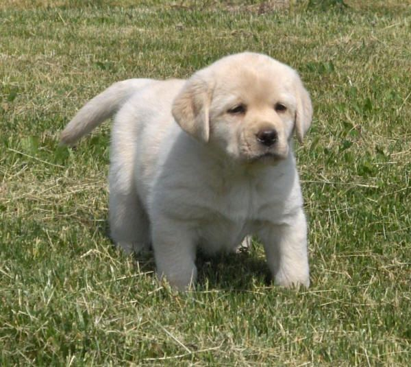 Yellow lab puppies for sale in ohio cleveland 4jpg 600 for Dog kennels for sale in ohio