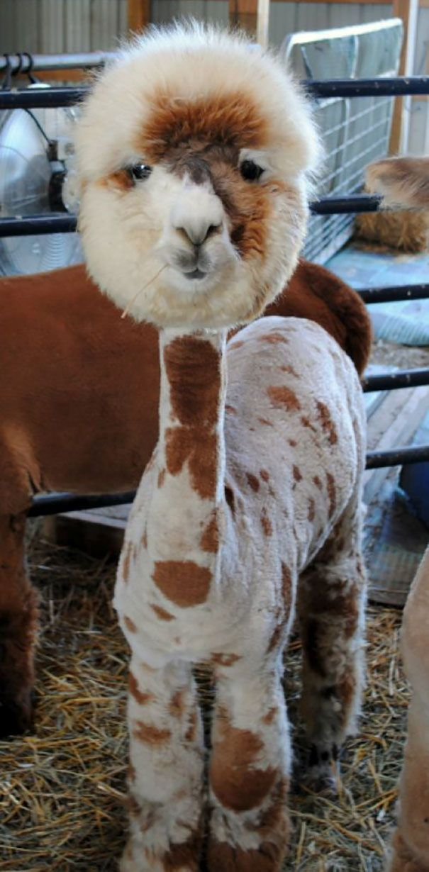 37 Alpacas That Will Make Your Day Shaved Animals Cute Animals Funny Animals