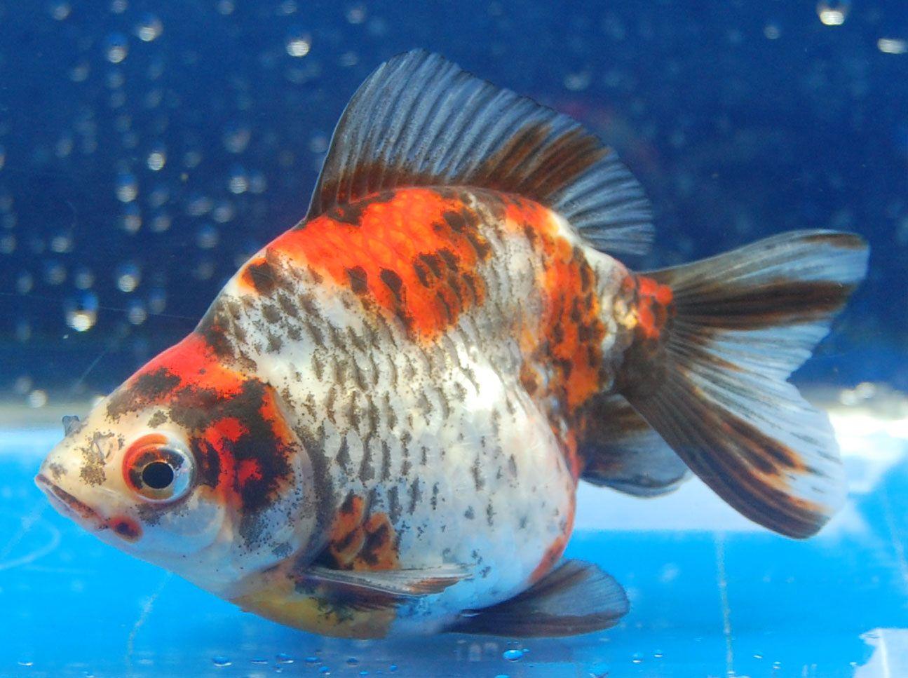 Ryukin (Goldfish) calico colours  0a989415bb9