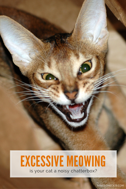 Excessive Meowing and What it Means Cat behavior, Cat