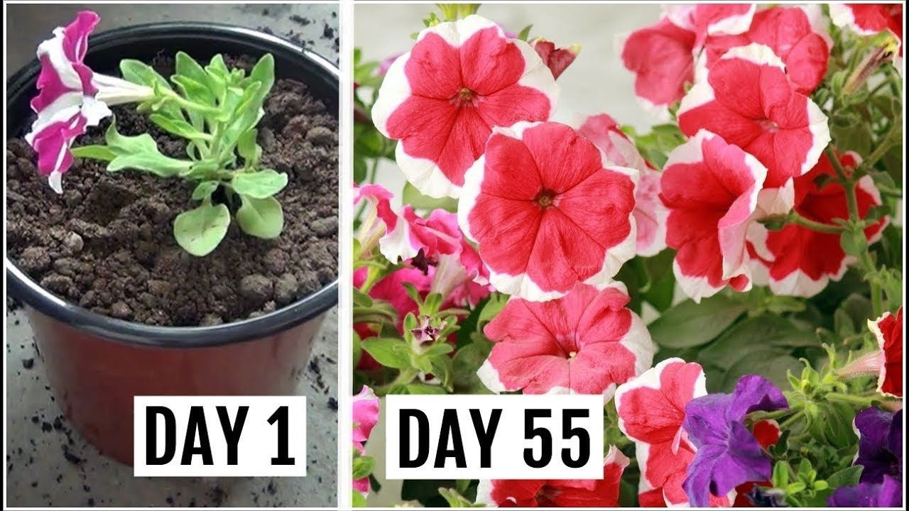 Know The Right Way To Grow Care For Petunia Plant Petunias Know