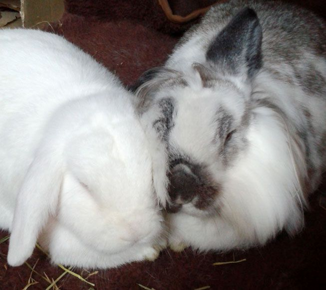sexing-lop-rabbits-when-do-they-mature-teenager-kissing-and-petting-videos