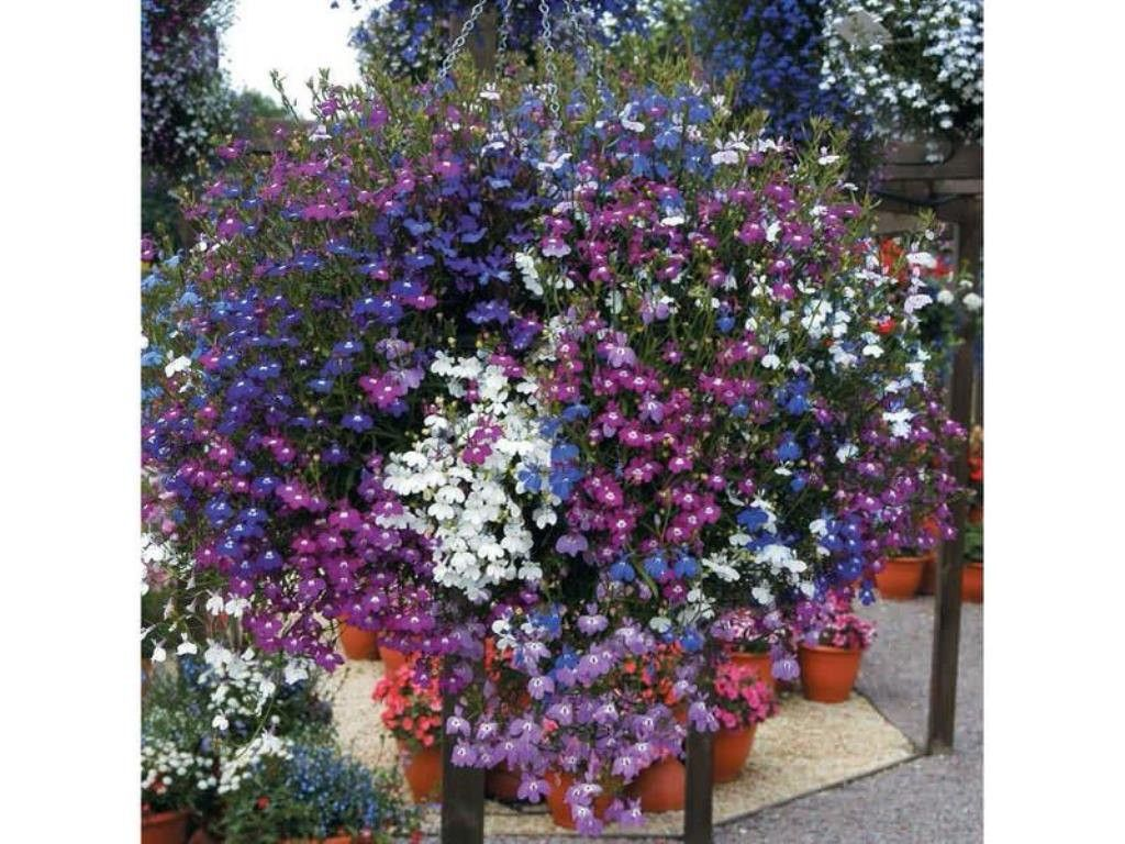 Lobelia Seeds ,Trailing Mixed, Use in hanging baskets or trailing over window boxes and wall.