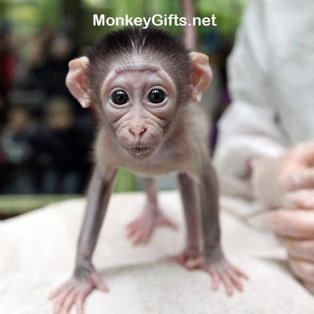 Visit MonkeyGifts.net for more cool crazy monkey photos