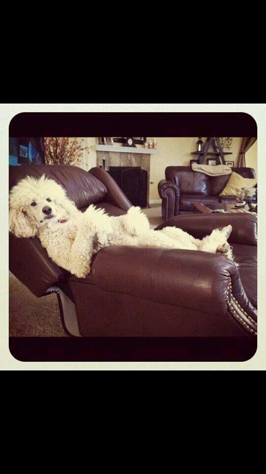Bark A Lounge Poodle Poodle Dog Standard Poodle