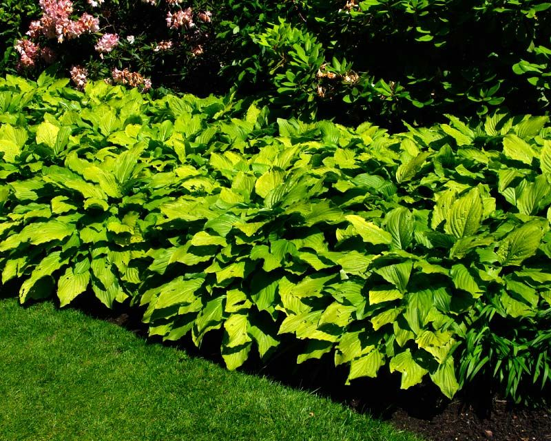 Hosta Honeybells Has Large Light Green Leaves In Shade Turning