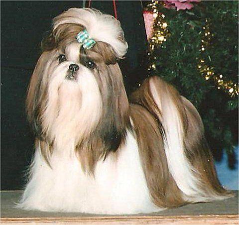 Would Tinta Look Like This W Long Hair Shih Tzu Pinterest